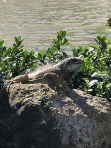 Grenada Sandals Iguana on a rock