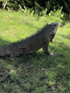 Grenada Sandals Iguana